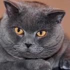 Британская короткошерстная кошка, фото8