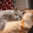 Британская короткошерстная кошка, фото9