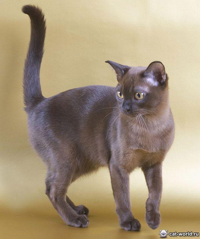 Про бурманскую кошку