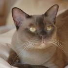 Бурманская кошка, фото1