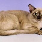 Бурманская кошка, фото10