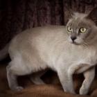 Бурманская кошка, фото11