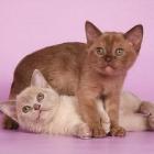 Бурманская кошка, фото12