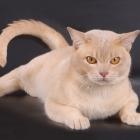 Бурманская кошка, фото13