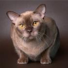 Бурманская кошка, фото14