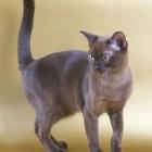 Бурманская кошка, фото15