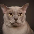 Бурманская кошка, фото16
