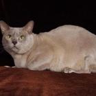 Бурманская кошка, фото2