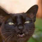 Бурманская кошка, фото3