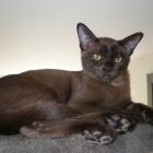 Бурманская кошка, фото4