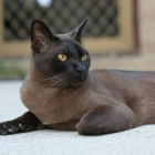 Бурманская кошка, фото5