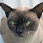 Бурманская кошка, фото6