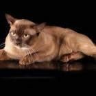 Бурманская кошка, фото7