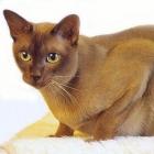 Бурманская кошка, фото8