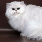 Персидская кошка, фото1