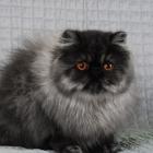 Персидская кошка, фото10
