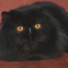 Персидская кошка, фото11
