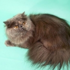 Персидская кошка, фото12