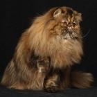 Персидская кошка, фото13