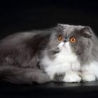 Персидская кошка, фото14
