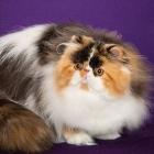 Персидская кошка, фото15