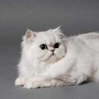 Персидская кошка, фото16