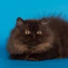 Персидская кошка, фото2