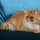 Персидская кошка, фото3