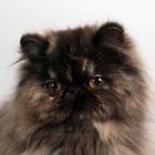 Персидская кошка, фото4