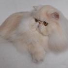 Персидская кошка, фото5