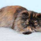 Персидская кошка, фото6