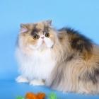 Персидская кошка, фото7