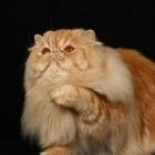 Персидская кошка, фото8