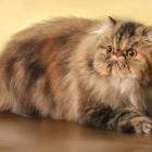 Персидская кошка, фото9