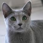 Русская голубая кошка, фото1