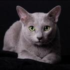 Русская голубая кошка, фото10