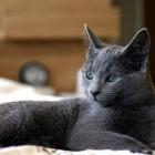 Русская голубая кошка, фото11