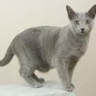 Русская голубая кошка, фото12