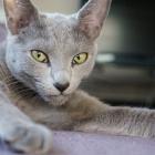 Русская голубая кошка, фото13