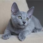 Русская голубая кошка, фото14