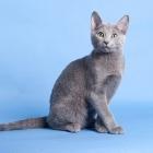 Русская голубая кошка, фото15