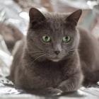 Русская голубая кошка, фото16