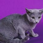 Русская голубая кошка, фото2