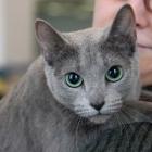 Русская голубая кошка, фото4