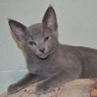 Русская голубая кошка, фото5