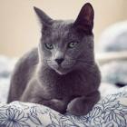 Русская голубая кошка, фото6