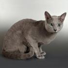 Русская голубая кошка, фото7