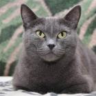 Русская голубая кошка, фото8