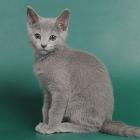 Русская голубая кошка, фото9
