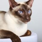 сиамская кошка, фото1